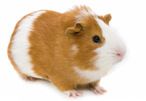 Everything you wanted to know about Guinea pigs